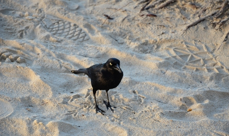 oiseau noir: Black bird on the beach Banque d'images