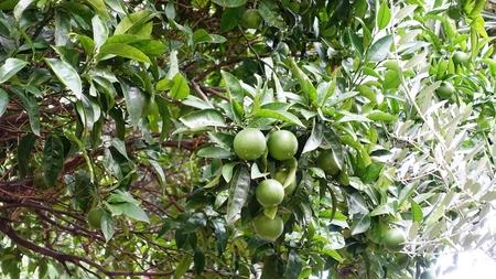 limetree: lime tree