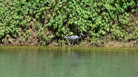 gray herons: heron on Martha Brae River Stock Photo