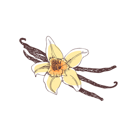 Vanilla. Flower and vanilla pods on white background. Hand-drawn spice ink, color vector illustration.