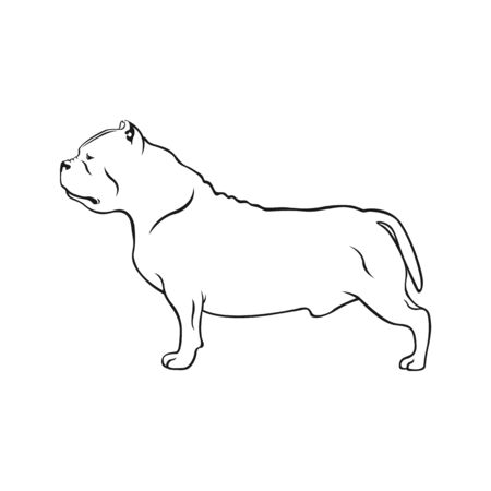 American bully dog. Dog breed American bully isolated on white background.