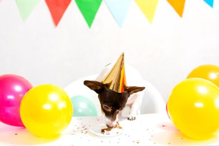 Cute small funny dog in party hat with a birthday cake eating birthday cake celebrating his birthday. Dog birthday party. Domestic animal love and pampering concept.