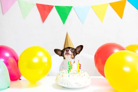 Cute small funny dog with a birthday cake and a party carnival hat celebrating his birthday. Happy birthday party. Domestic animal love and pampering concept..