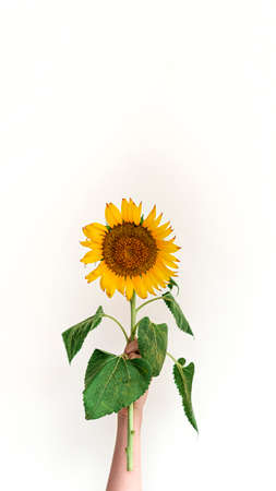 Womens hand holds yellow sunflower against white background. Summer or autumn concept.