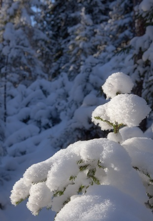 Snow-covered fir forest in the sunny day photo