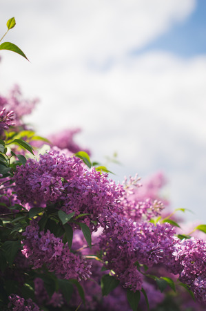 purpule: Blooming lilac