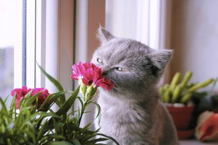 Little gray kitten admires the flower Stok Fotoğraf
