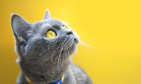 gray cat on a yellow background with yellow eyes close-up