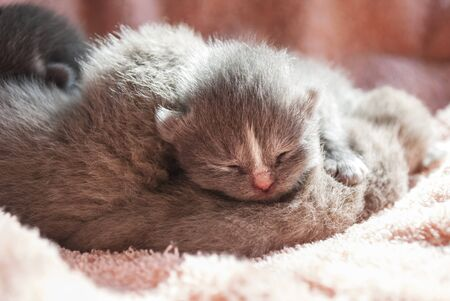 A lot of gray scottish newborn kittens lies on a pink coverlet. Close-up