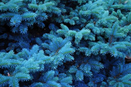 Blue spruce branches texture close-up