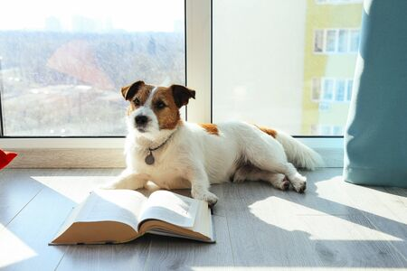 Intelligent Dog Jack Russell reading book next to the window. Quarantine concept Standard-Bild