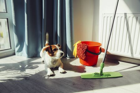 Cleaning Jack Russell Dog. Quarantine time. Cleaning up apartment Stok Fotoğraf
