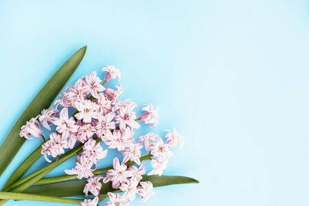 Fresh beautiful spring pink flowers hyacinth on light blue background. Place for text. Toned image.