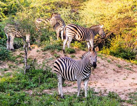 A dazzle of Burchell's zebra at Kruger National Park