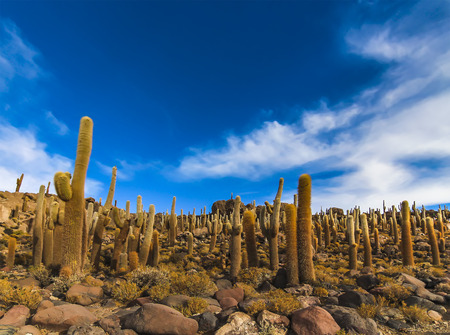 Giant cactus at Isla Incahuasi in Salar de Uyuni, Bolivia 免版税图像