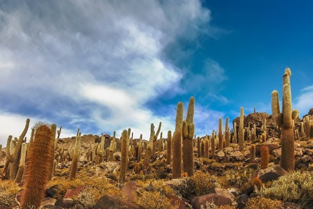 Giant cactus at Isla Incahuasi in Salar de Uyuni, Bolivia 版權商用圖片