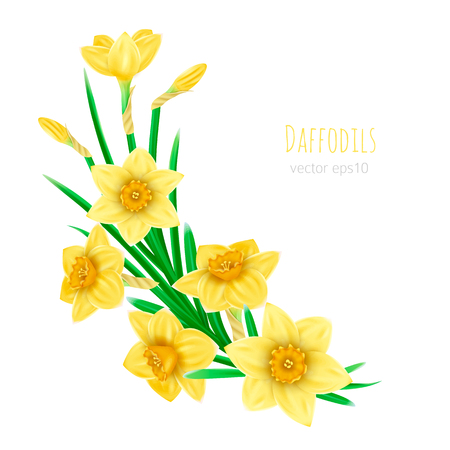 Isolated blossom yellow, daffodil spring flower Narcissus on white background. Elements for custom creation, wedding day, Mother day Ilustração