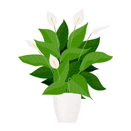Plant indoor peace lily in cartoon style illustration