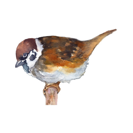 Sparrow watercolor painting