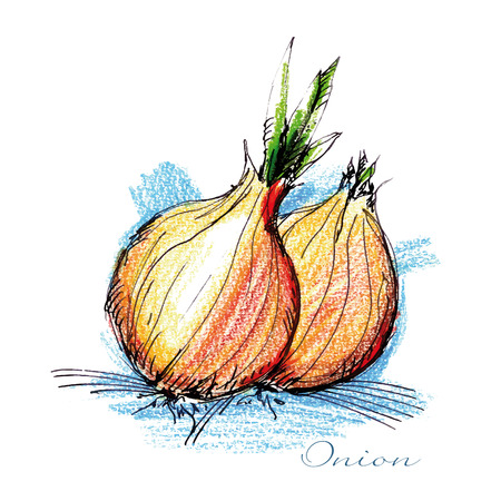 Watercolor illustration of two onions.   Vector