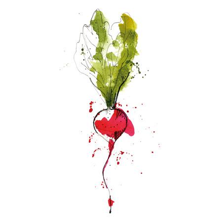 Watercolor illustration of radish.