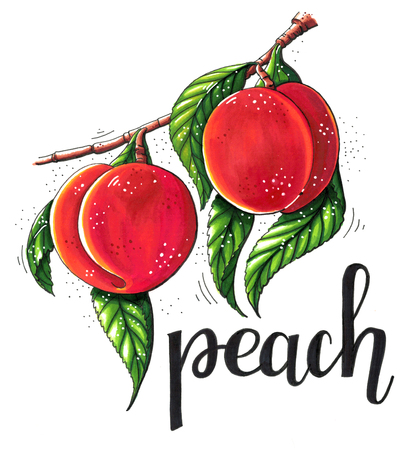 nectarine: Hand drawn marker illustration of a branch of ripe peaches with green leaves isolated on white background. This image can be used as a print on t-shirts and bags, greeting card or as a poster.