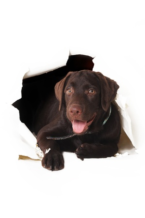 happy labrador puppy peeping out of a hole in the white paper photo