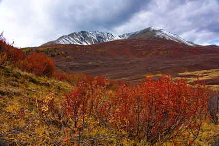 red dwarfish birch (Betula nana) against the background of the mountain covered with snow in the fall in Altai