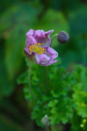 the blossoming flower of an anemone (Anemone japonica) against the background of greens