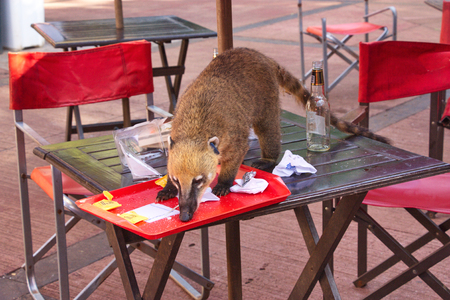 coati on a table of cafe under the open sky in Iguazu National Park in Argentina