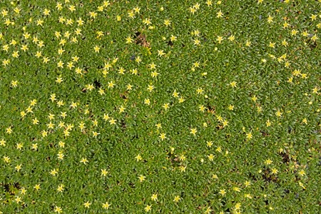 Ground cover plant with small yellow flowers in the form of a ground cover plant with small yellow flowers in the form of a background stock photo mightylinksfo