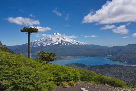 araucarias against the background of Llaima volcano in Conguillio National Park in Chile