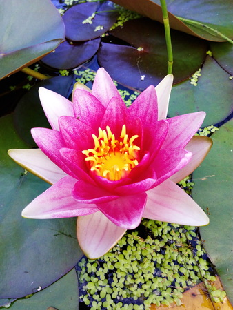 flower of a pink water-lily in a pond against the background of leaves Stock Photo