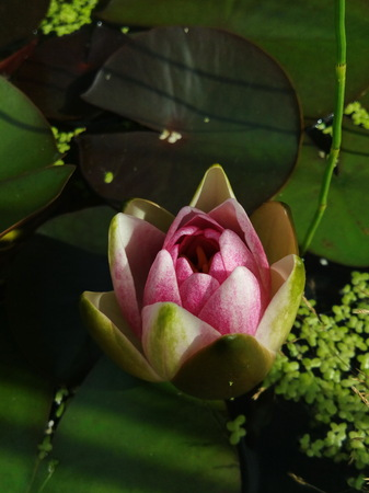 the dismissed bud of a pink water-lily against the background of green leaves Stock Photo