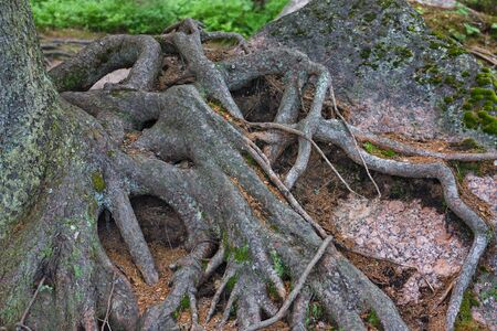 branched roots of a tree on the surface of the soil Stok Fotoğraf