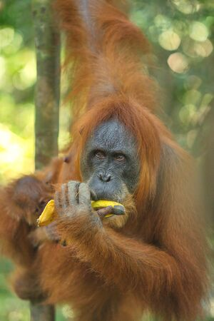 portrait of the female of an orangutan with a cub, eating banana in the jungle of Indonesia