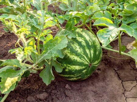 Watermelon growing in garden or field among lush foliage on the ground under sunlight. Harvesting melon field in summer. Organic gardening and agriculture