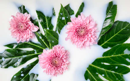 Three pink Chrysanthemum or mums flowers and green leaves floating in milk water bath. Organic skin care, relaxation, beauty spa and wellness treatment. Beautiful spring and autumn floral background
