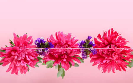 Pink Chrysanthemum flowers floating in water half under water on pastel pink background. Organic skin care, beauty spa, relaxation and wellness treatment. Beautiful spring and autumn floral background