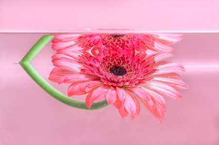 Pink gerbera or barberton daisy flower under water on pastel pink background. Milk bath, beauty spa, relaxation or wellness treatment. Youth, freshness and tenderness concept. Summer floral background Фото со стока