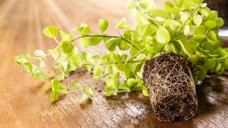 Close-up of green home Peperomia plant with roots on wooden table ready for planting in flowerpot. Indoor gardening concept. DIY home garden. Concept of growth, new life, environment protection