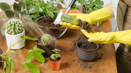 Woman gardener hands in yellow gloves plant cactus into new flowerpot with fertile soil on wooden table. Indoor planting and gardening concept. DIY home garden with plants and succulents