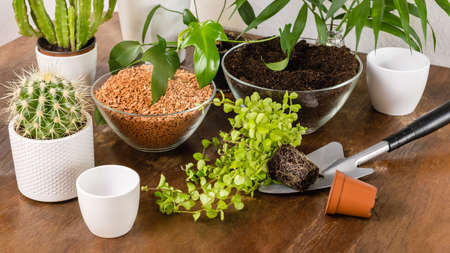 Indoor DIY home garden with green plants, flowers, cacti and succulents on wooden in white flowerpots on wooden table and shelf. Soil and drainage for transplanting. Planting and gardening concept.