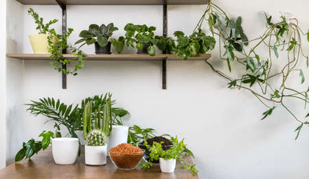 Indoor DIY home garden with green plants, flowers, cacti and succulents in white flowerpots on wooden table and shelf. Soil and drainage for transplanting. Planting and gardening concept.