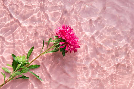 Pink Chrysanthemum flower on water surface with ripples and sunlight reflections. Beauty spa, relaxation or wellness treatment. Youth, freshness or tenderness concept. Summer background 写真素材