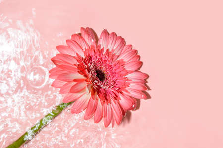 Pink gerbera or barberton daisy flower on water surface with ripples and sunlight reflections. Beauty spa, relaxation or wellness treatment. Youth, freshness or tenderness concept. Summer background 写真素材