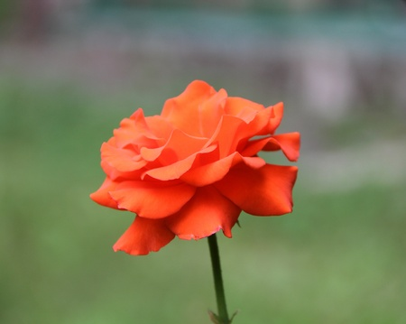Beautiful red rose on the green background
