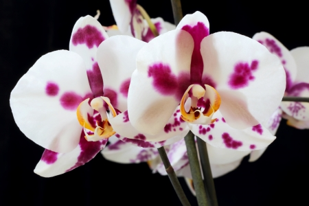 The beautiful white orchid on black background