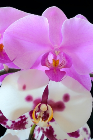 The beautiful purple and white orchid on black background
