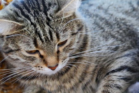 squint: The portrait of lazy stripe cat with squint